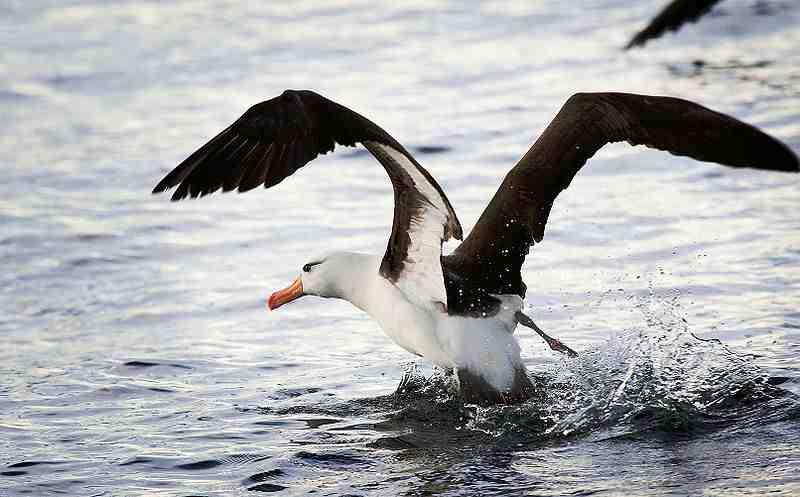 L'Albatros, de Baudelaire ?